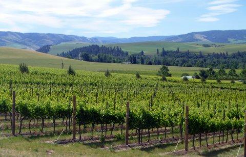 Yellow Bird vineyard